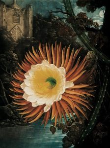 Robert Thornton, The Night-Blowing Cereus, Temple of Flora, Plate 14, 1799 - 1807Robert Thornton, The Night-Blowing Cereus, Temple of Flora, Plate 14, 1799 - 1807