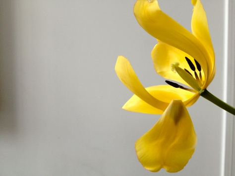 first tulip.jpg
